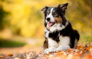 犬类智商排名 你家的狗狗排第几